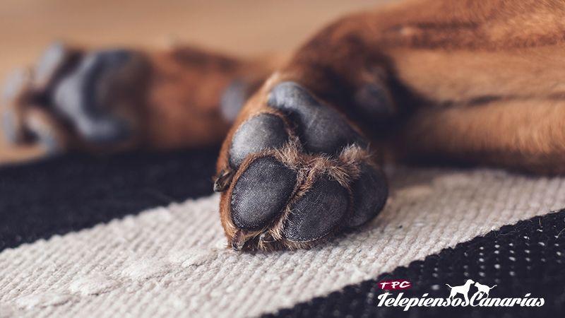 Las almohadillas de los perros cumplen la misma función que los zapatos de las personas