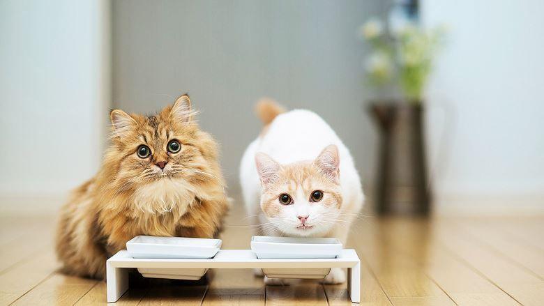 Los gatos y la intolerancia a la lactosa